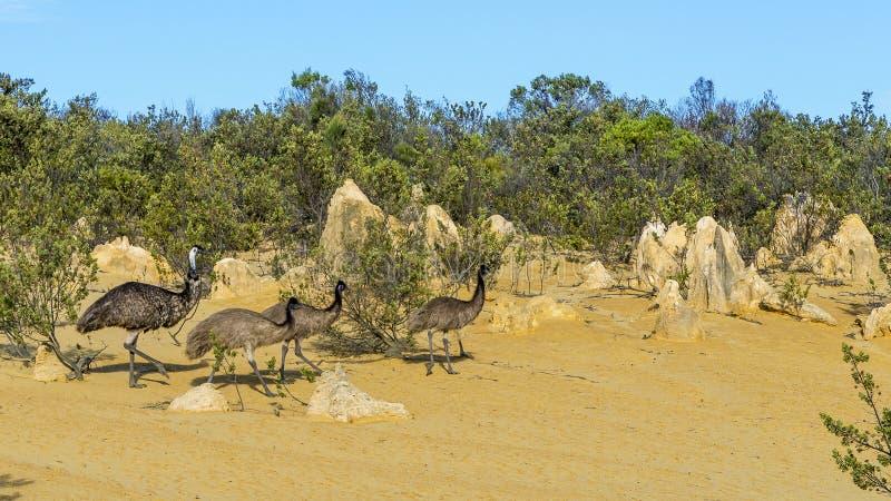 Il gruppo di em? dentro i culmini abbandona, Australia occidentale fotografie stock