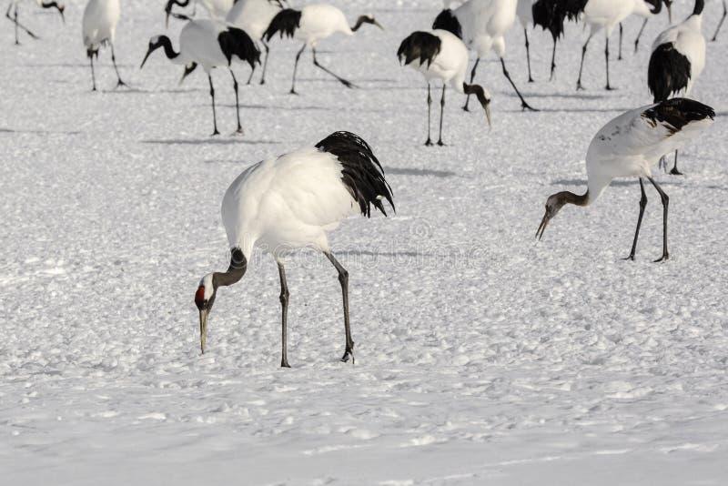 Il gruppo di giapponese Rosso-incoronato Cranes il foraggiamento immagini stock libere da diritti