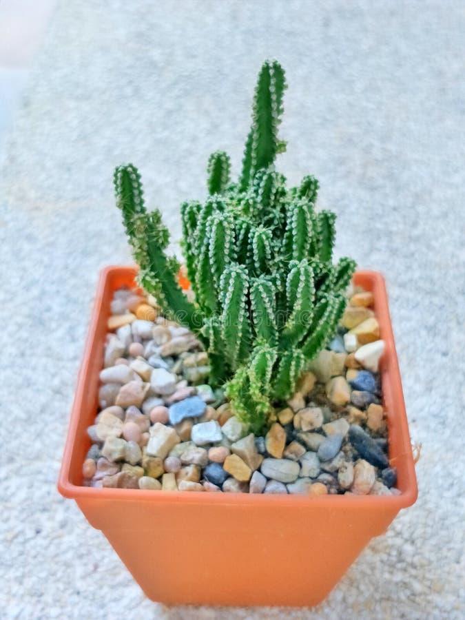 Il gruppo di a lungo shap cactus, spina dorsale bianca ha piccolo fiore in vaso arancio fotografia stock
