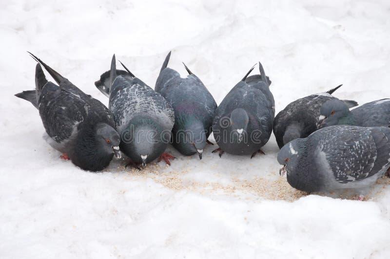 Il gruppo di piccioni mangia fotografia stock