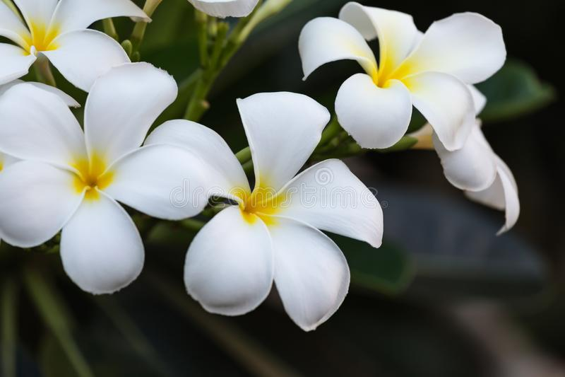 Il gruppo di plumeria fiorisce sulla fine dell'albero su fotografia stock