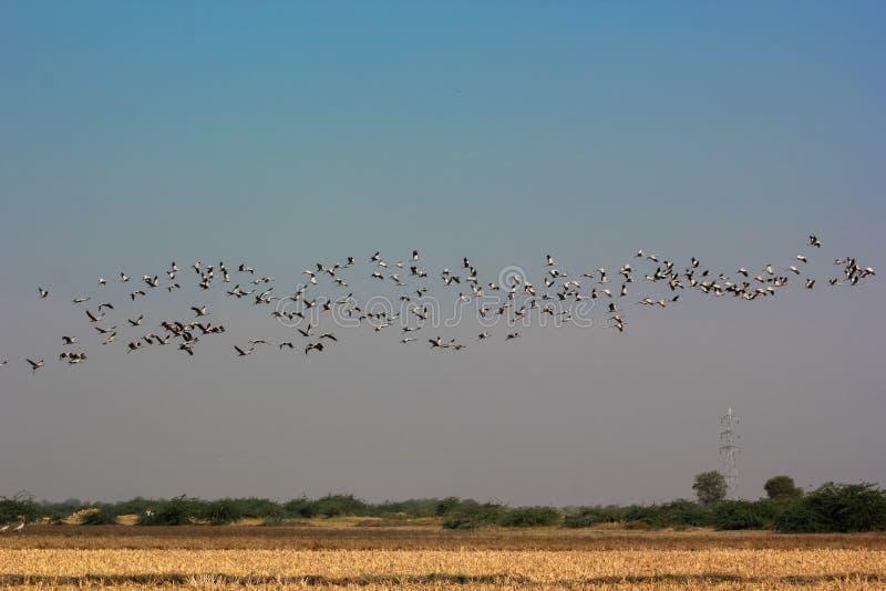Il gruppo di terreno comunale cranes la gru di gru di volo del cielo blu fotografie stock libere da diritti