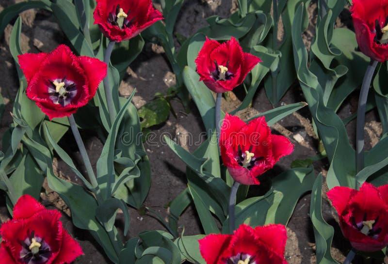 Il gruppo di tulipano rosso fiorisce con fogliame verde fotografia stock libera da diritti