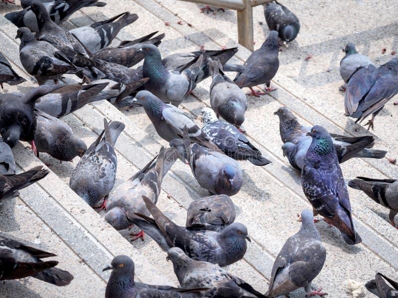 Il gruppo di volume 2 dei piccioni fotografia stock