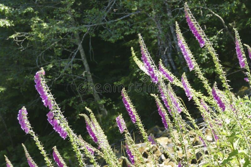 Il guanto di signora o della digitale sta fiorendo la pianta nella famiglia di plantano immagine stock