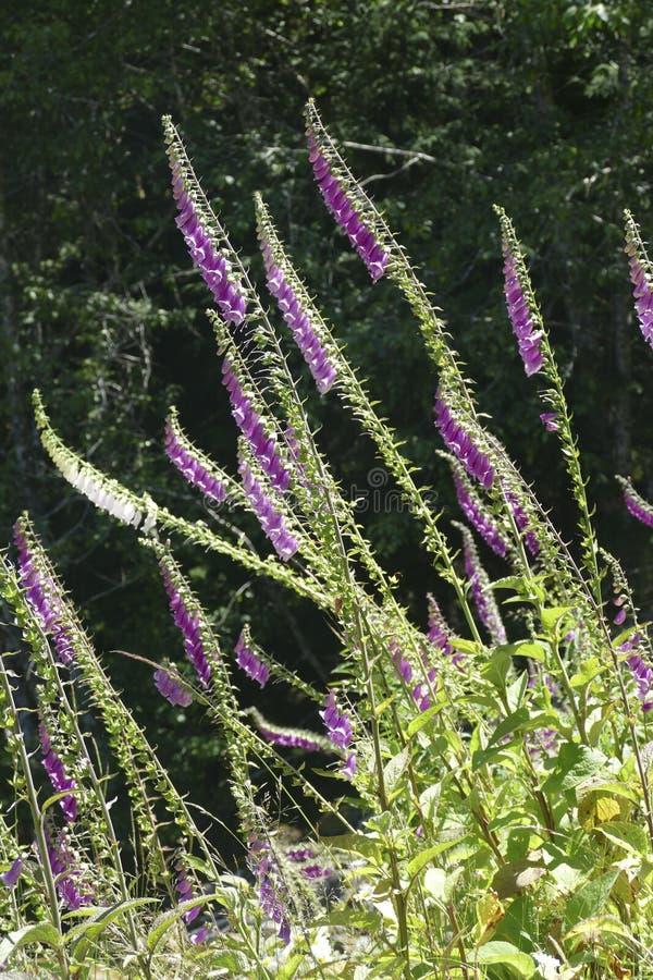 Il guanto di signora o della digitale sta fiorendo la pianta nella famiglia di plantano fotografie stock