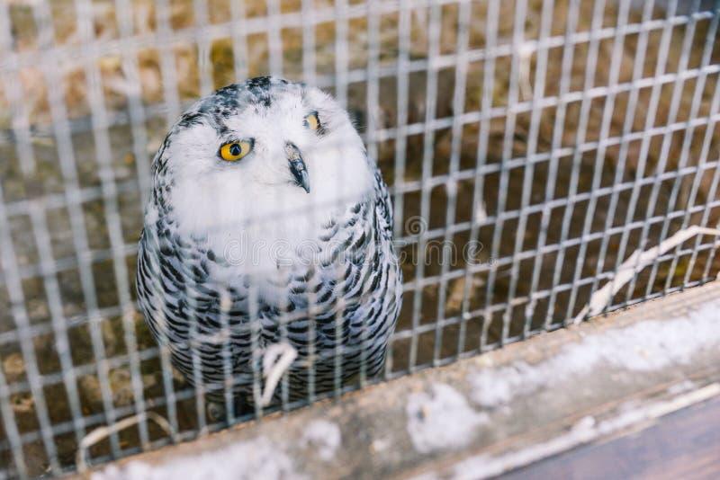 Il gufo è polare nella gabbia Il gufo è grigio a colori con grandi piume Grandi occhi gialli e becco nero Maglia del ferro in fotografia stock