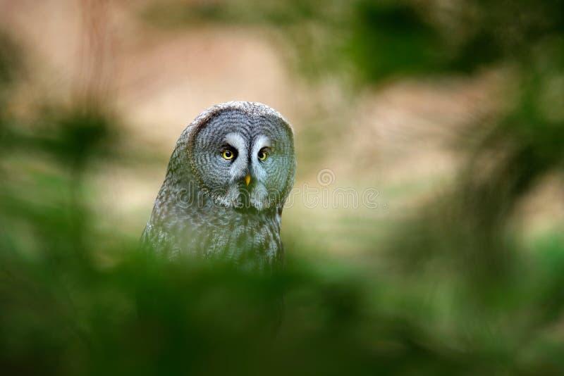 Il gufo di grande grey, il nebulosa dello strige, uccello hiden nel gufo della foresta che si siede sul vecchio tronco di albero  fotografia stock libera da diritti