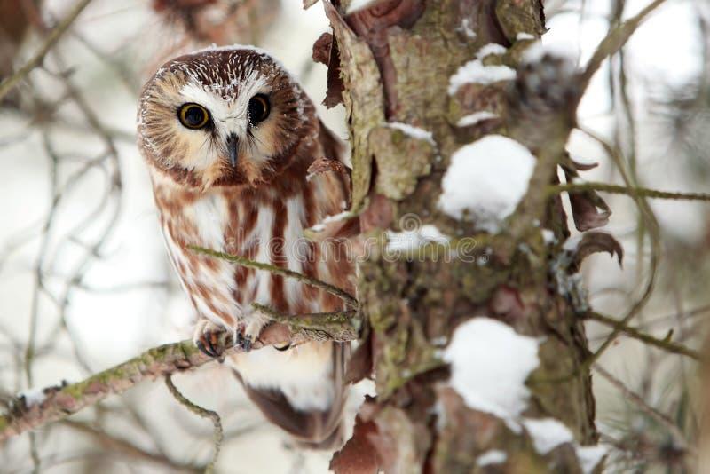 il gufo nordico ha veduto per whet l'inverno fotografie stock libere da diritti
