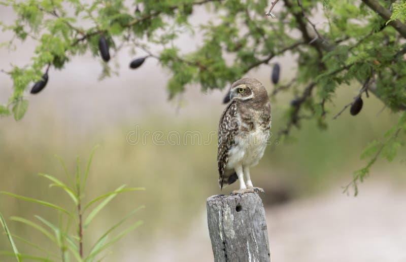 Il gufo si è appollaiato su un palo osservando la sua preda possibile fotografie stock libere da diritti