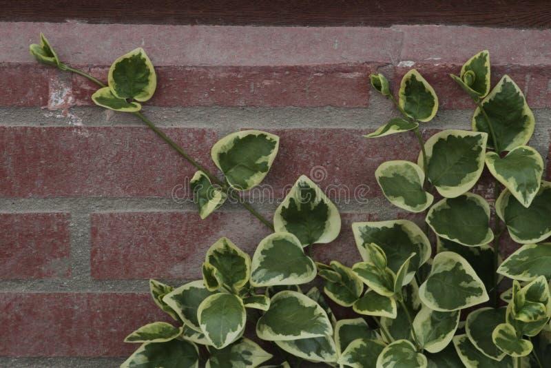 Il Hedera ha aperto un fiore magnifico nel colore magenta immagini stock libere da diritti