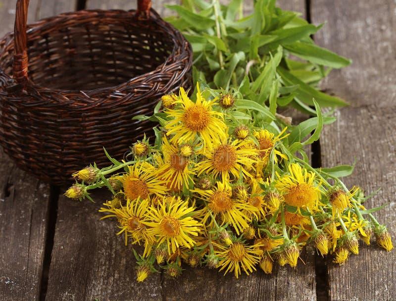 Il helenio di Inula o cavallo-guarisce o i fiori gialli dell'enula campana con verde su fondo di legno La pianta medicinale conti immagine stock