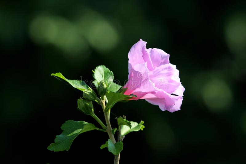 Il hibiscus syriacus o Rosa della tromba di Sharon ha modellato il singolo fiore con i germogli di fiore sul fondo verde scuro de immagini stock