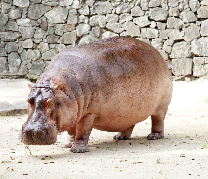 Il hippopotamus immagine stock