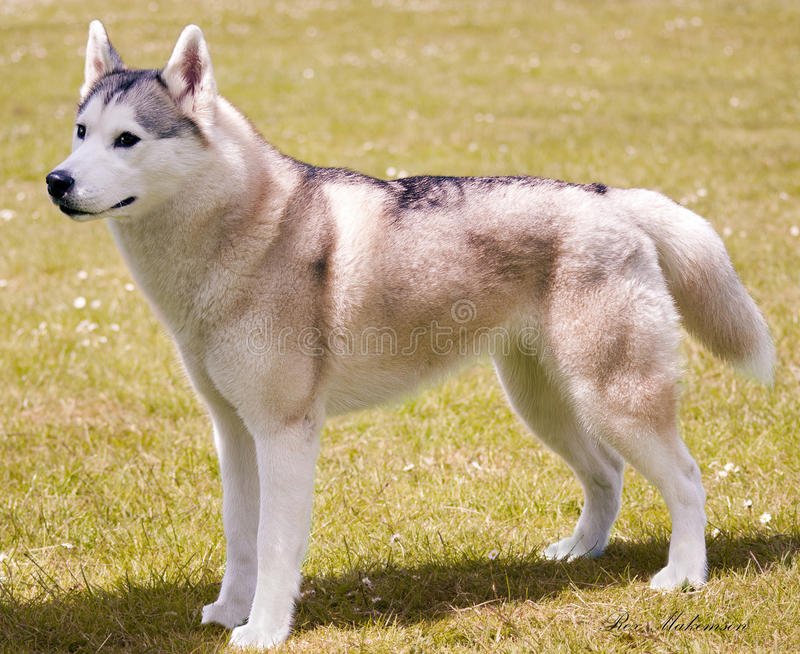 Il husky immagini stock libere da diritti