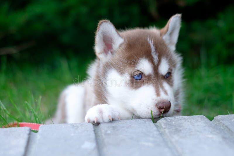 Il husky del cucciolo di cane sta aspettando sulla via, con lo spazio della copia testo, concetto solo di amore fotografia stock