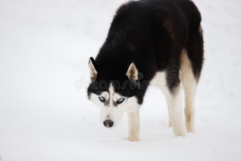 Il husky favorito in bianco e nero sta nella neve e guarda immagini stock
