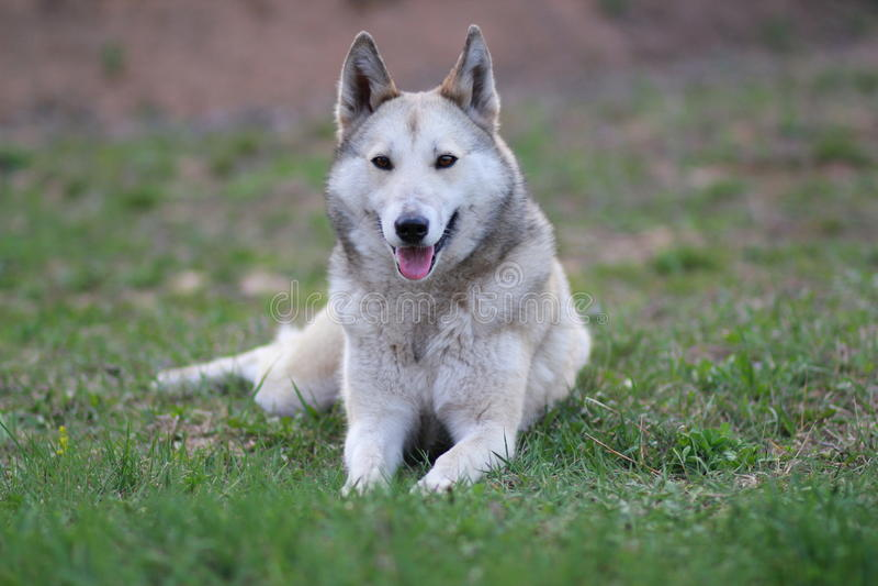 Il husky siberiano ad ovest fotografia stock