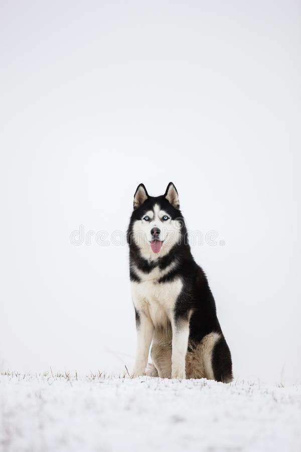 Il husky siberiano favorito in bianco e nero si siede nella neve fotografia stock