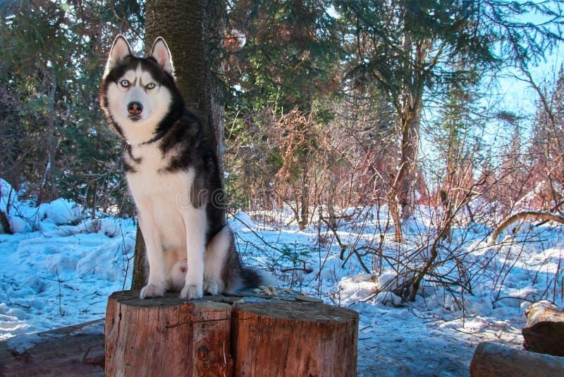 Il husky siberiano si siede in mezzo della foresta dell'inverno il giorno soleggiato Il bello cane con gli occhi azzurri guarda a fotografia stock libera da diritti