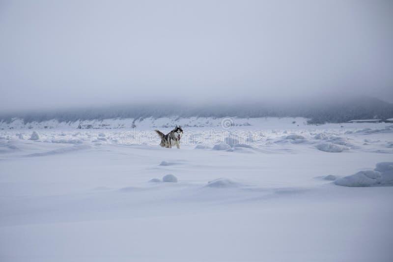 Il husky siberiano sta correndo sulla neve sul mare congelato di Ochotsk nell'inverno Il cane del husky si diverte in tempo nebbi immagini stock libere da diritti