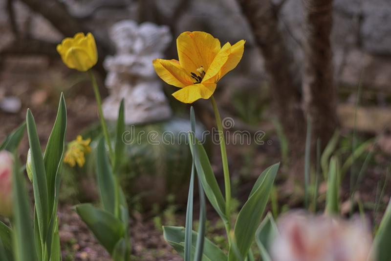 Il ` i tulipani del ` dei pastelli in fioritura in uno zen fa il giardinaggio immagine stock libera da diritti