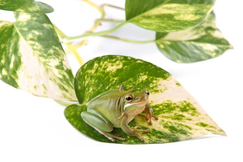 Il infrafrenata di Litoria della rana di albero sulla foglia della pianta ha chiamato lo scindapsus ed isolata su un fondo bianco fotografia stock