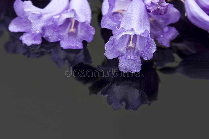 Il Jacaranda fiorisce la macro su una superficie brillante fotografie stock