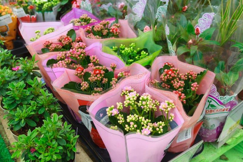Il kalanchoe rosso e rosa fiorisce in un involucro di regalo fotografia stock