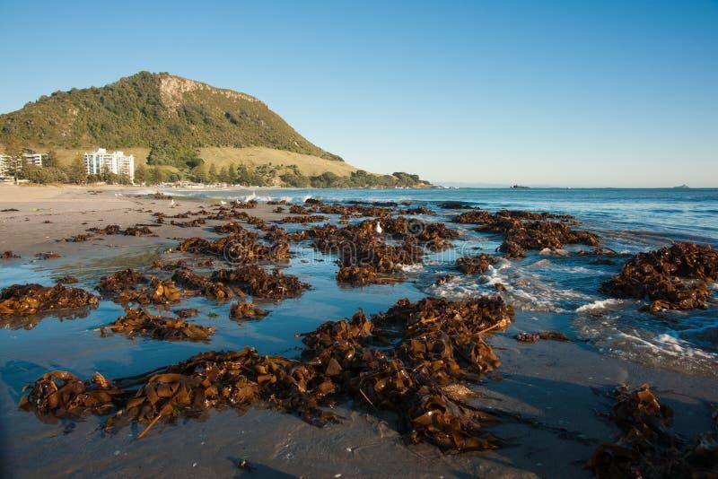 Il kelp dell'alga ha lavato in su sulla spiaggia del supporto. fotografie stock