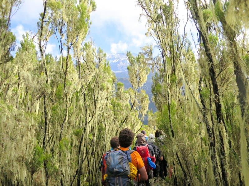 Il Kilimanjaro/Tanzania: 4 gennaio 2016: tizzoni della spedizione del gruppo all'aumento del Kilimanjaro attraverso l'alta forest immagine stock libera da diritti