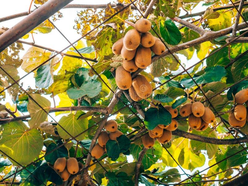 Il kiwi su un albero Librazione del kiwi dell'albero della liana sull'uva Arbo fotografia stock libera da diritti