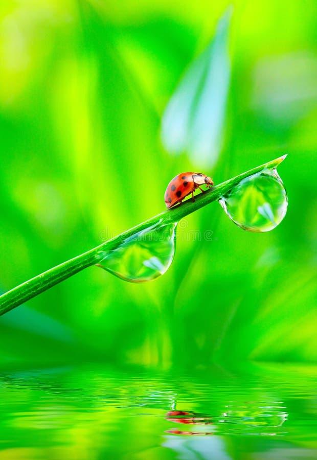 Il ladybug. fotografia stock