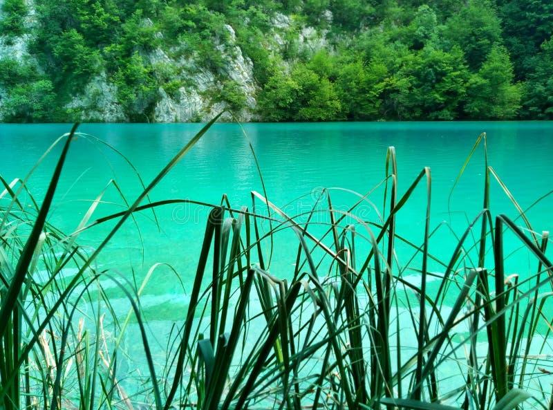 Il lago con di acqua colorata d'azzurro luminosa dietro le foglie taglienti delle canne Laghi Plitvice, Croatia fotografie stock libere da diritti