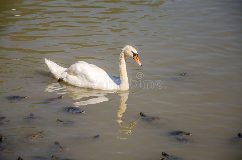 Il lago in cui il cigno, tartarughe e ducks la nuotata in un giorno soleggiato luminoso alla villa Pamphili a Roma, Italia fotografia stock libera da diritti