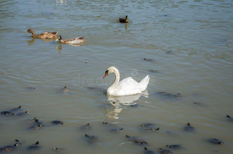 Il lago in cui il cigno, tartarughe e ducks la nuotata in un giorno soleggiato luminoso alla villa Pamphili a Roma, Italia fotografia stock
