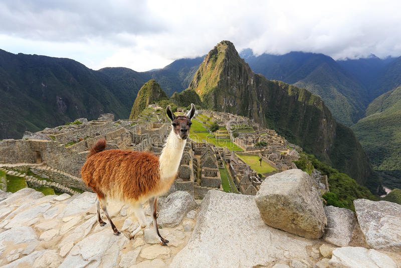 Il lama che sta a Machu Picchu trascura nel Perù fotografia stock libera da diritti
