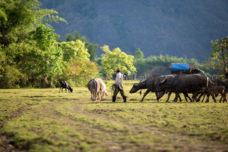 Il Laos l'agricoltore ed i bufali d'acqua nel campo questo fotografia stock libera da diritti