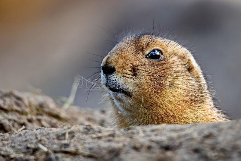Il lat della marmotta Camtschatica del Marmota guardato da Nora per guardare intorno closeup Natura selvaggia Fotografia bassa di fotografie stock
