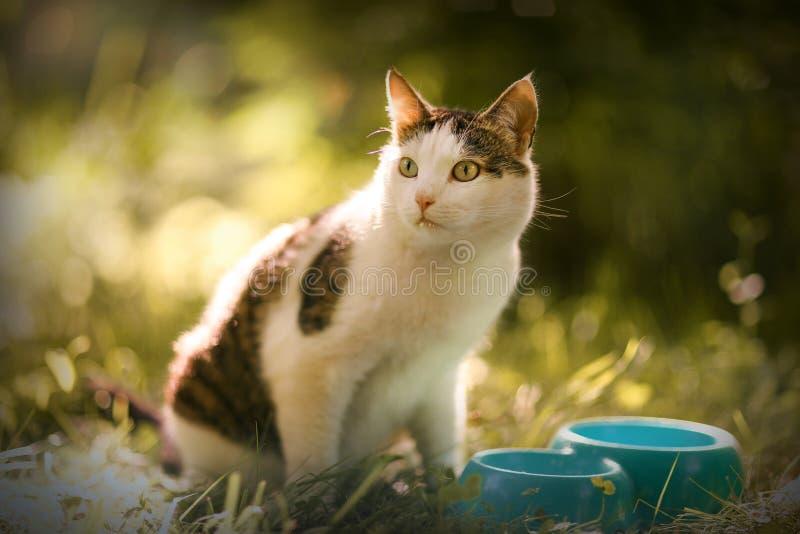 Il latte affamato della bevanda del gatto dalla ciotola blu lecca le sue labbra fotografia stock libera da diritti
