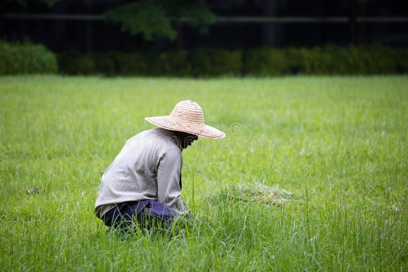 Il lavoratore del giardino sta rimuovendo le erbacce nel prato inglese del paesaggio immagine stock