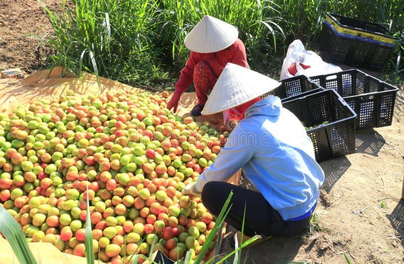 Il lavoratore raccoglie i pomodori nella serra del policarbonato trasparente fotografie stock