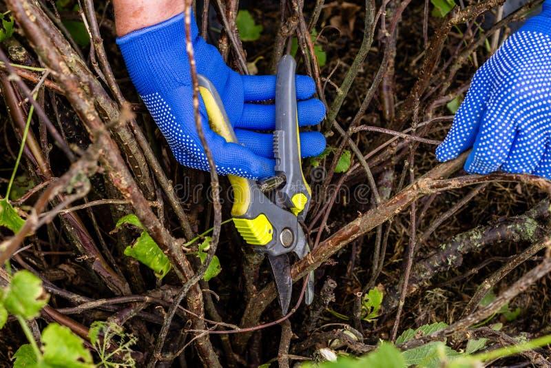 Il lavoratore sta potando i rami della pianta, giardiniere sta assottigliando i rami del cespuglio di ribes immagine stock libera da diritti