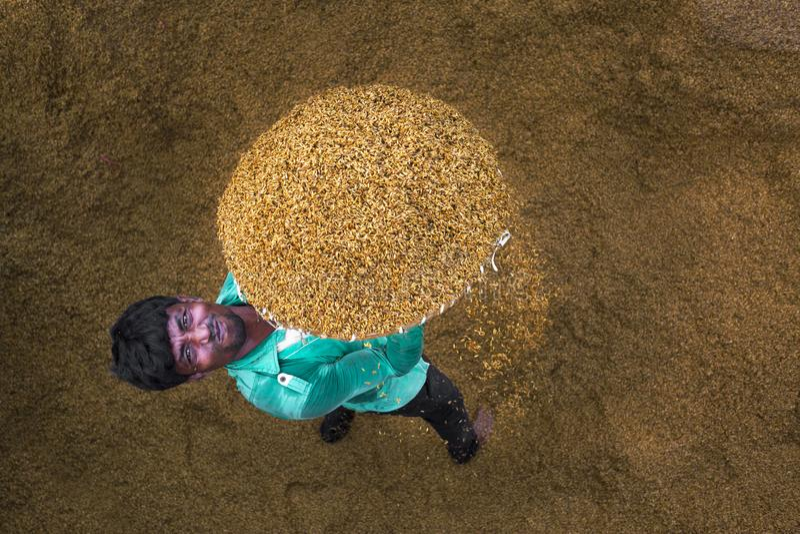 Il lavoratore tradizionale della riseria gira la risaia per asciugarsi fotografia stock libera da diritti