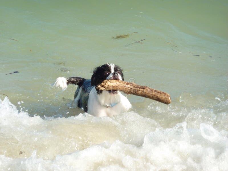 Il lavoro del nuotatore del cane fotografia stock libera da diritti