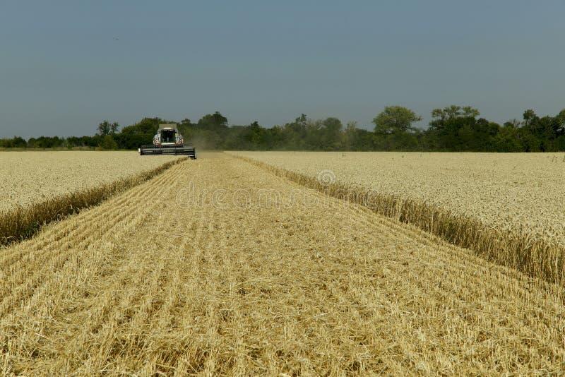 Il lavoro dell'associazione nel campo di grano maturato Effettuare i raccolti del grano fotografia stock libera da diritti