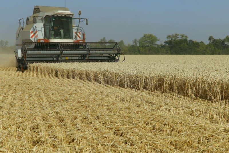 Il lavoro dell'associazione nel campo di grano maturato Effettuare i raccolti del grano immagini stock libere da diritti