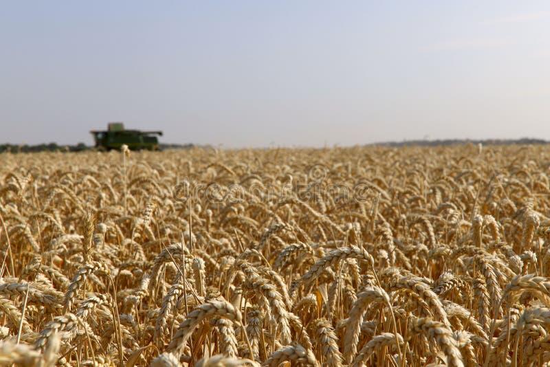 Il lavoro dell'associazione nel campo di grano maturato Effettuare i raccolti del grano immagine stock