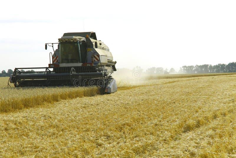 Il lavoro dell'associazione nel campo di grano maturato Effettuare i raccolti del grano immagini stock