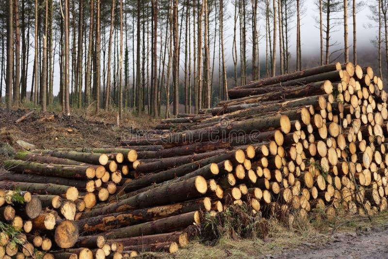 Il legno impilato ha tagliato il mucchio a pezzi dei tronchi di alberi nella regione selvaggia del terreno boscoso della foresta  fotografia stock